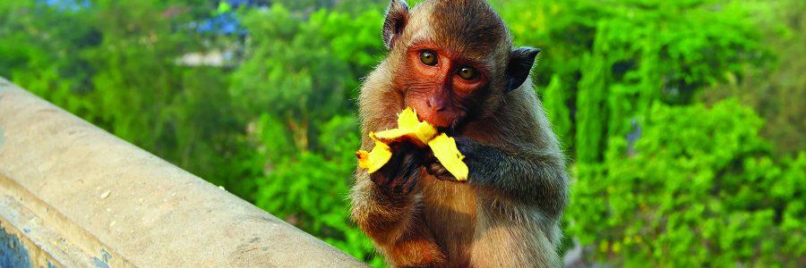 Мартышка ест банан. Королевство Таиланд