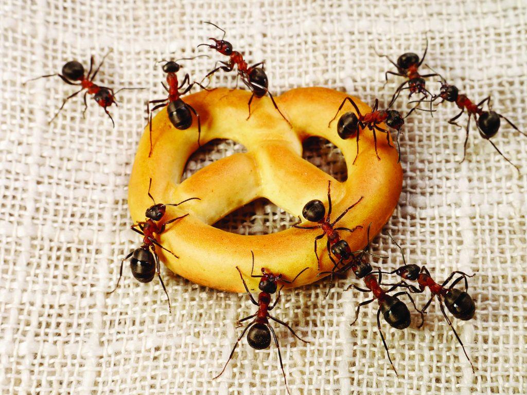 ants solving problem of cake transportation, teamwork